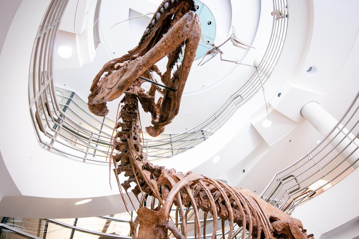 Museum Dinosaur Exhibit